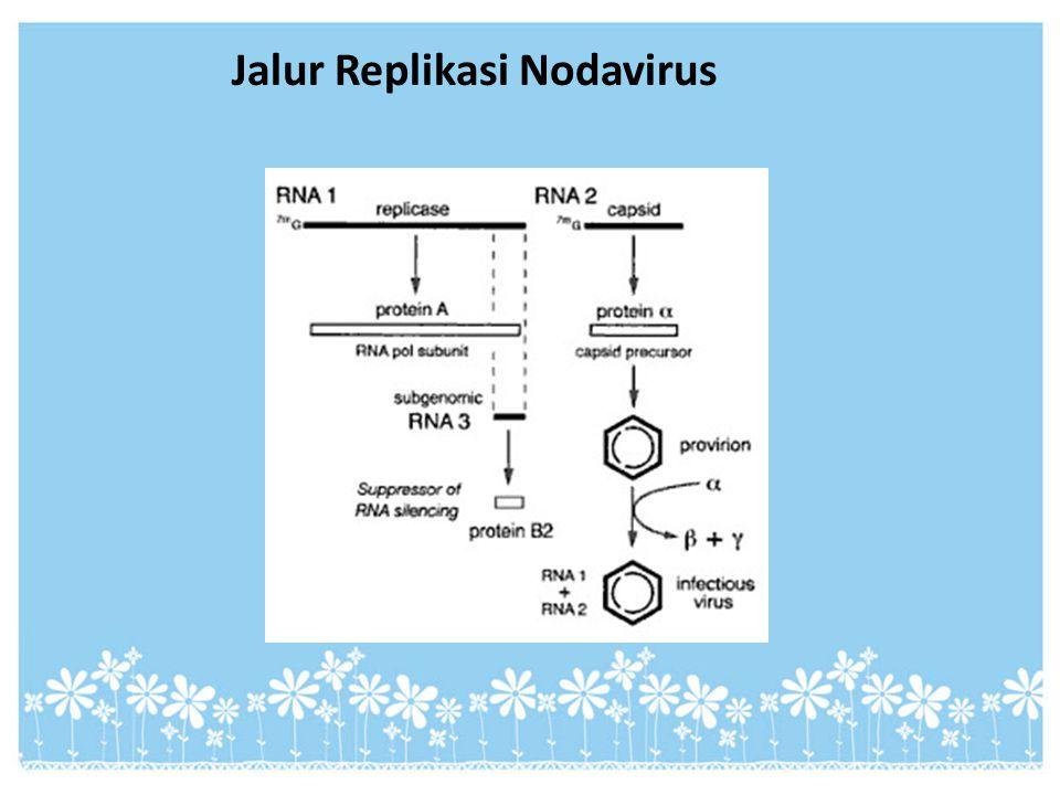 Jalur Replikasi Nodavirus