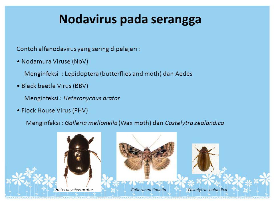 Contoh alfanodavirus yang sering dipelajari : Nodamura Viruse (NoV) Menginfeksi : Lepidoptera (butterflies and moth) dan Aedes Black beetle Virus (BBV