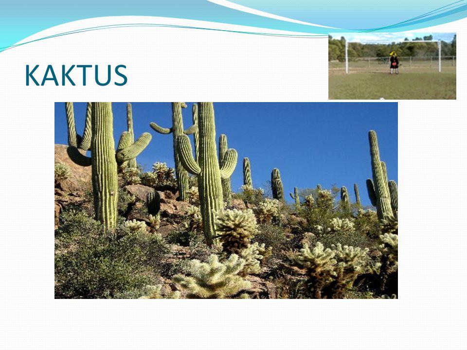 Apa yang membedakan kaktus dari tumbuhan lain.