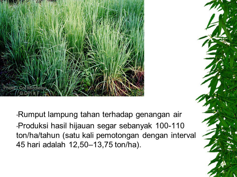 Rumput lampung tahan terhadap genangan air Produksi hasil hijauan segar sebanyak 100-110 ton/ha/tahun (satu kali pemotongan dengan interval 45 hari ad