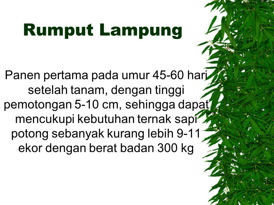 Rumput Lampung Panen pertama pada umur 45-60 hari setelah tanam, dengan tinggi pemotongan 5-10 cm, sehingga dapat mencukupi kebutuhan ternak sapi poto