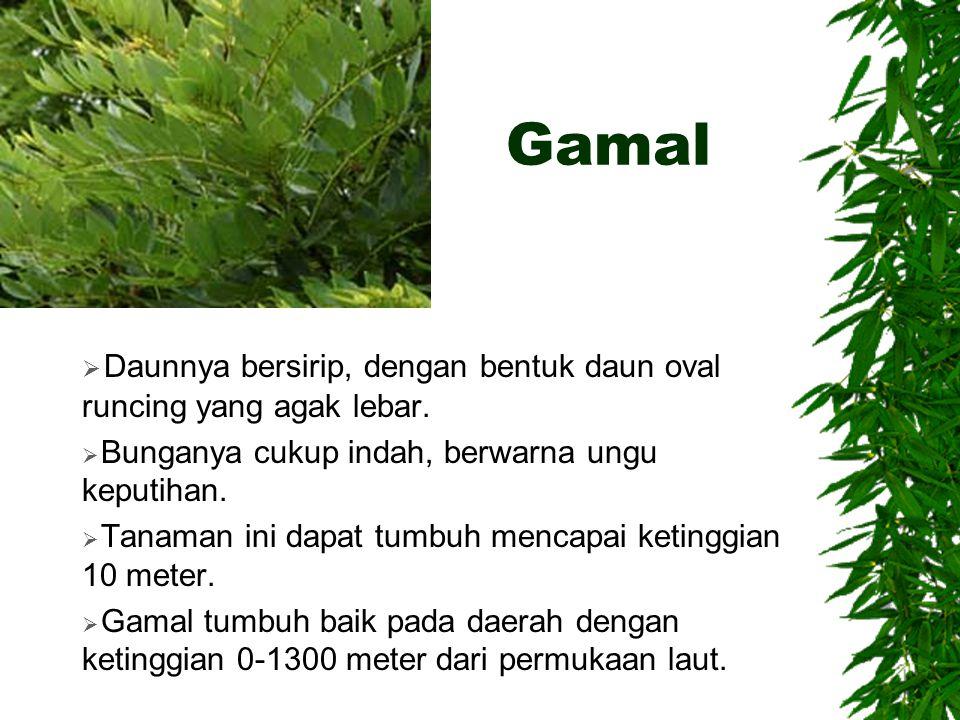 Gamal  Daunnya bersirip, dengan bentuk daun oval runcing yang agak lebar.  Bunganya cukup indah, berwarna ungu keputihan.  Tanaman ini dapat tumbuh
