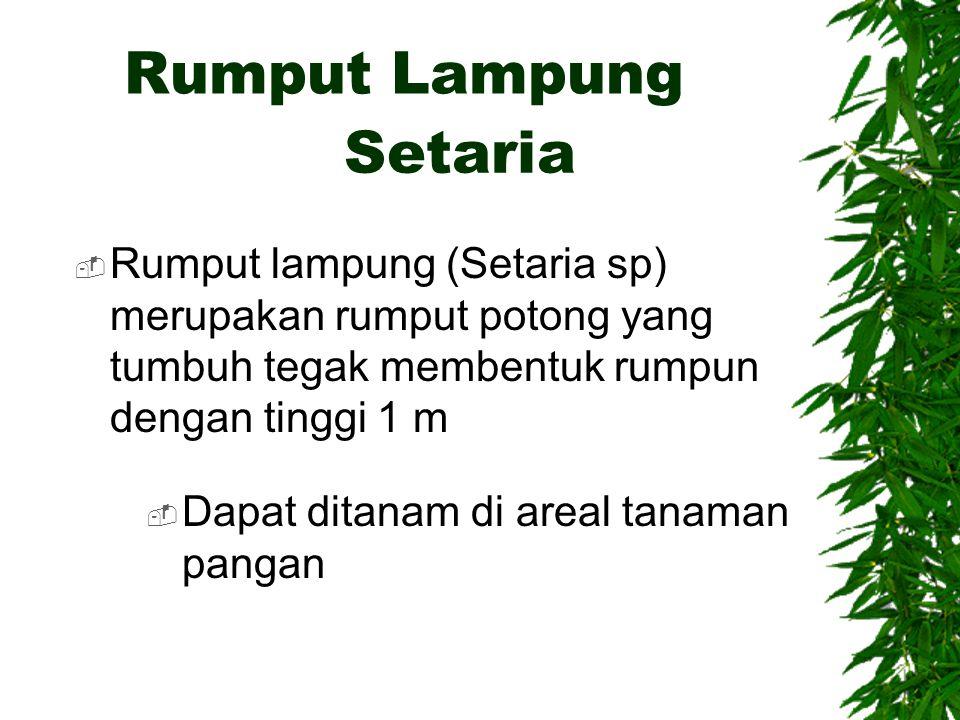 Rumput Lampung  Rumput lampung (Setaria sp) merupakan rumput potong yang tumbuh tegak membentuk rumpun dengan tinggi 1 m Setaria  Dapat ditanam di a