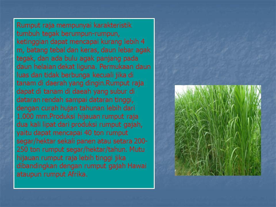 Rumput raja mempunyai karakteristik tumbuh tegak berumpun-rumpun, ketinggian dapat mencapai kurang lebih 4 m, batang tebal dan keras, daun lebar agak tegak, dan ada bulu agak panjang pada daun helaian dekat liguna.