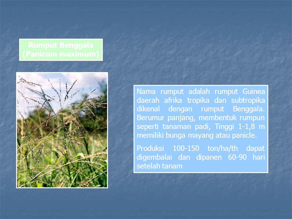 Rumput Benggala (Panicum maximum) Nama rumput adalah rumput Guinea daerah afrika tropika dan subtropika dikenal dengan rumput Benggala.