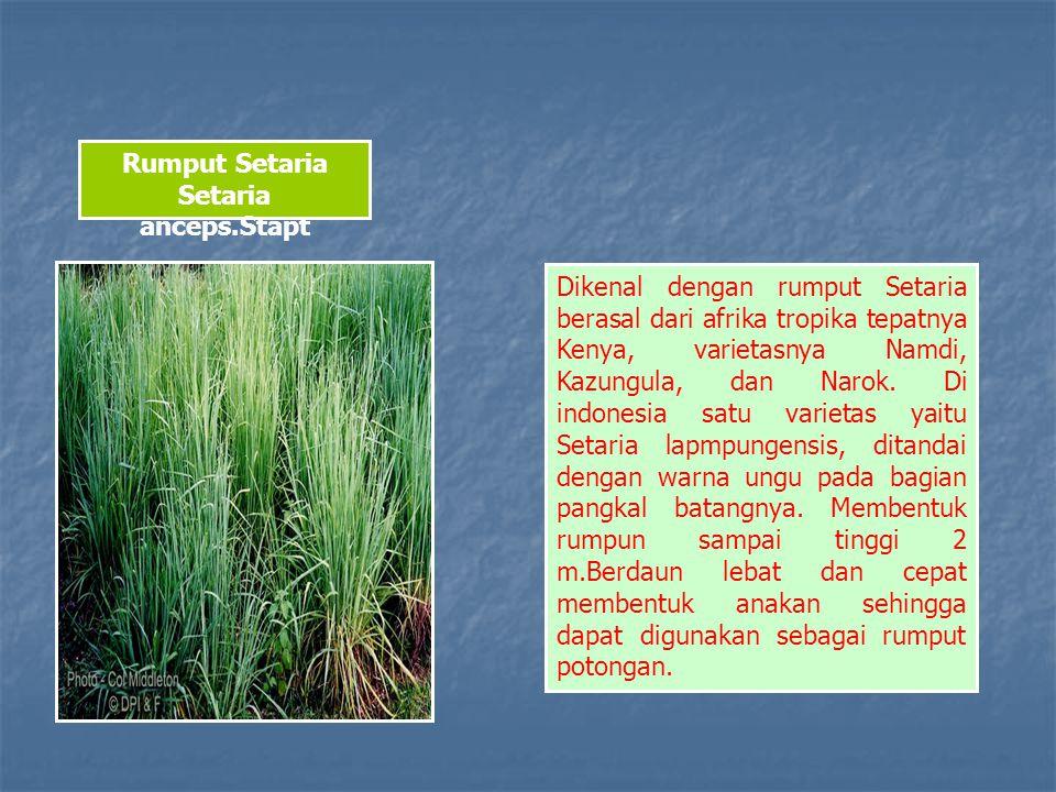 Rumput Setaria Setaria anceps.Stapt Dikenal dengan rumput Setaria berasal dari afrika tropika tepatnya Kenya, varietasnya Namdi, Kazungula, dan Narok.