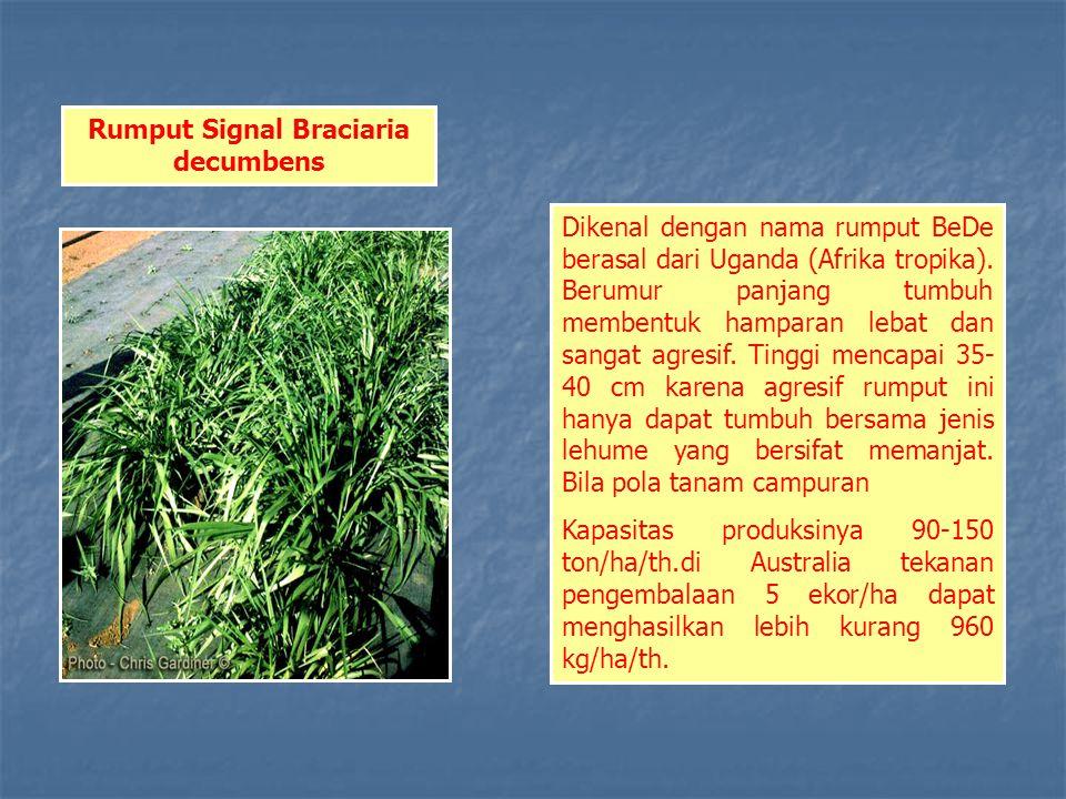 Rumput Signal Braciaria decumbens Dikenal dengan nama rumput BeDe berasal dari Uganda (Afrika tropika).