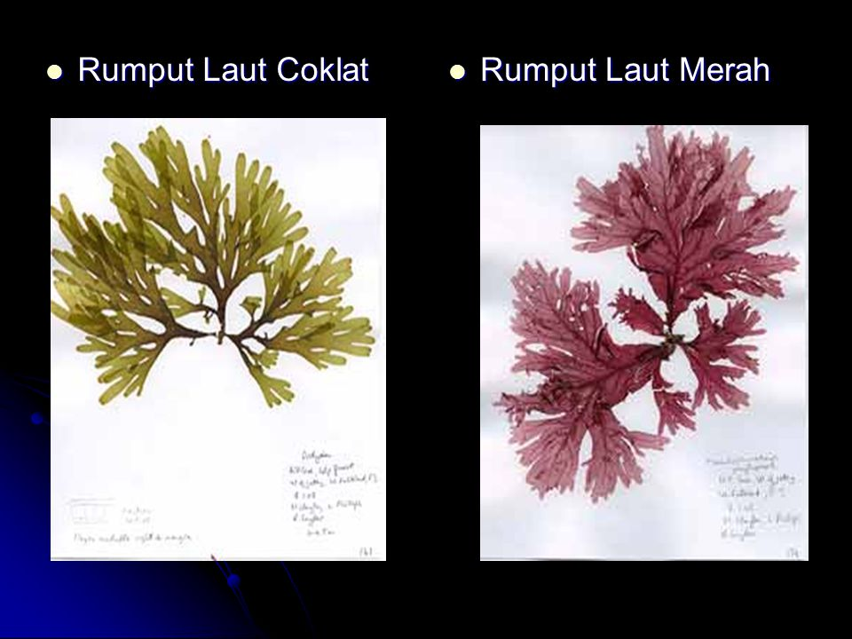 Rumput Laut Coklat Rumput Laut Coklat Rumput Laut Merah Rumput Laut Merah