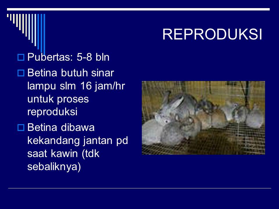 REPRODUKSI  Pubertas: 5-8 bln  Betina butuh sinar lampu slm 16 jam/hr untuk proses reproduksi  Betina dibawa kekandang jantan pd saat kawin (tdk sebaliknya)