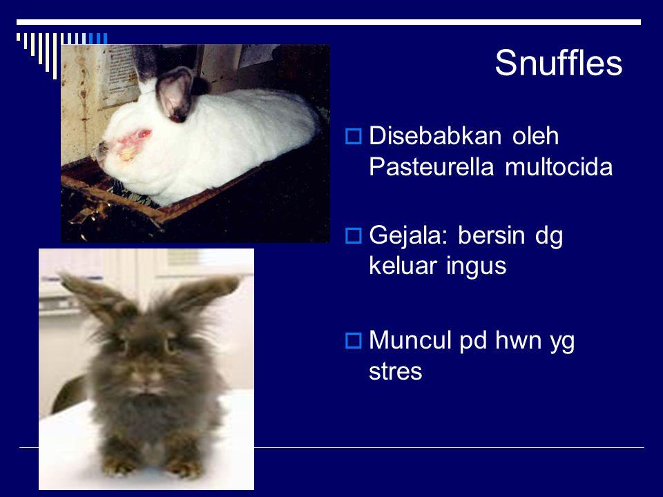 Snuffles  Disebabkan oleh Pasteurella multocida  Gejala: bersin dg keluar ingus  Muncul pd hwn yg stres