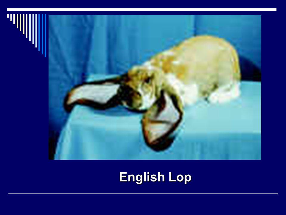 English Lop