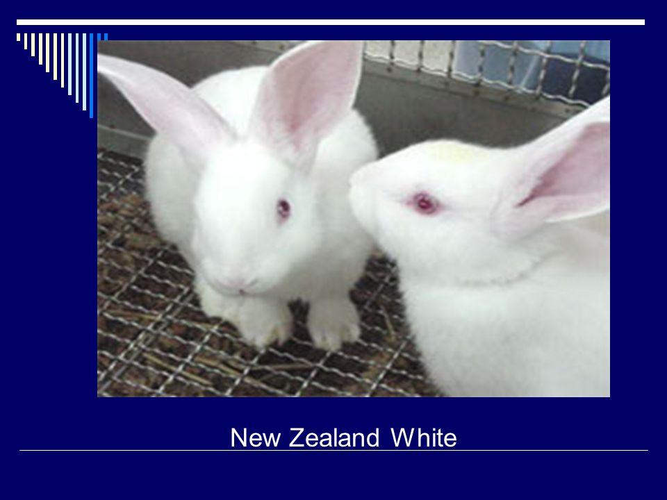 New Zealand White