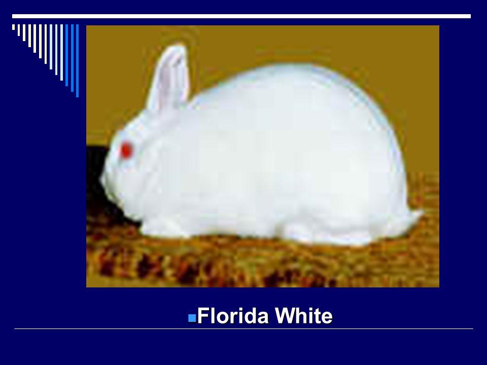 Florida White Florida White