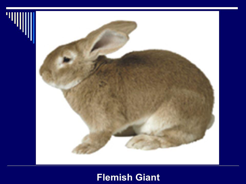 Flemish Giant