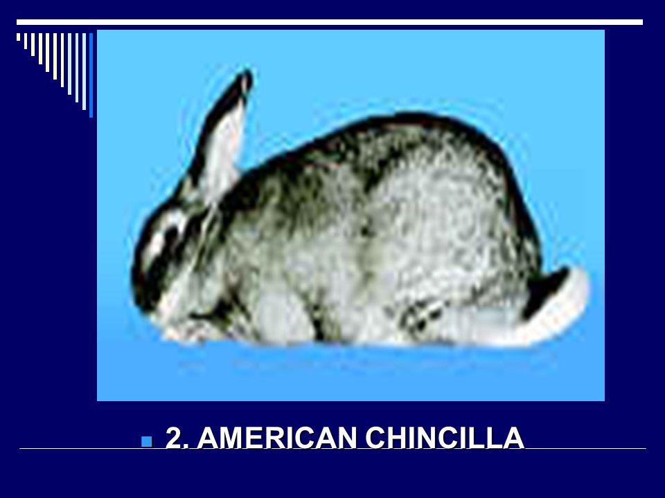 2. AMERICAN CHINCILLA 2. AMERICAN CHINCILLA