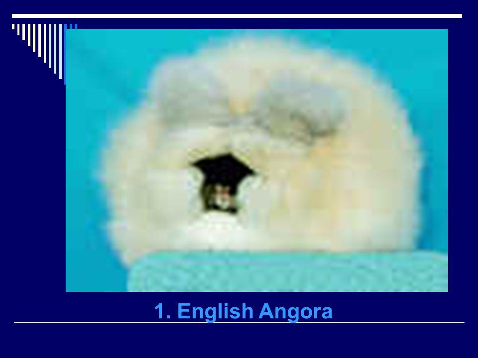 1. English Angora
