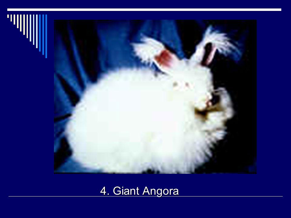 4. Giant Angora