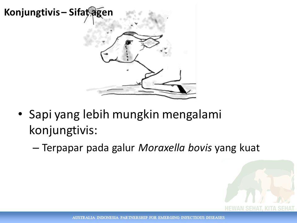 AUSTRALIA INDONESIA PARTNERSHIP FOR EMERGING INFECTIOUS DISEASES Sapi yang lebih mungkin mengalami konjungtivis: – Terpapar pada galur Moraxella bovis yang kuat Konjungtivis – Sifat agen