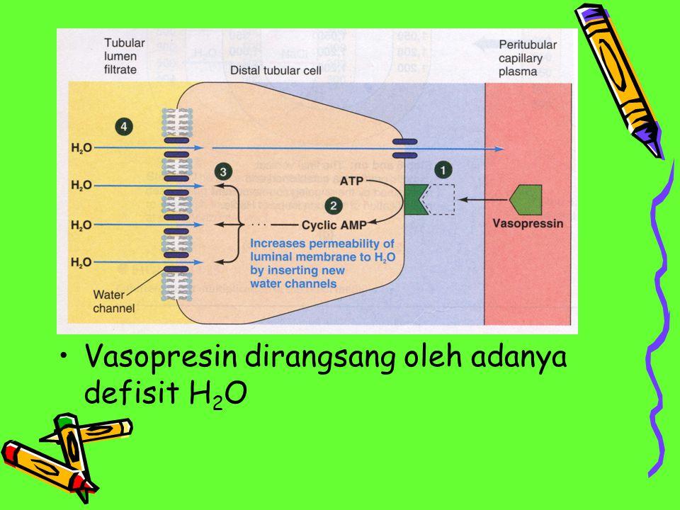 Vasopresin dirangsang oleh adanya defisit H 2 O