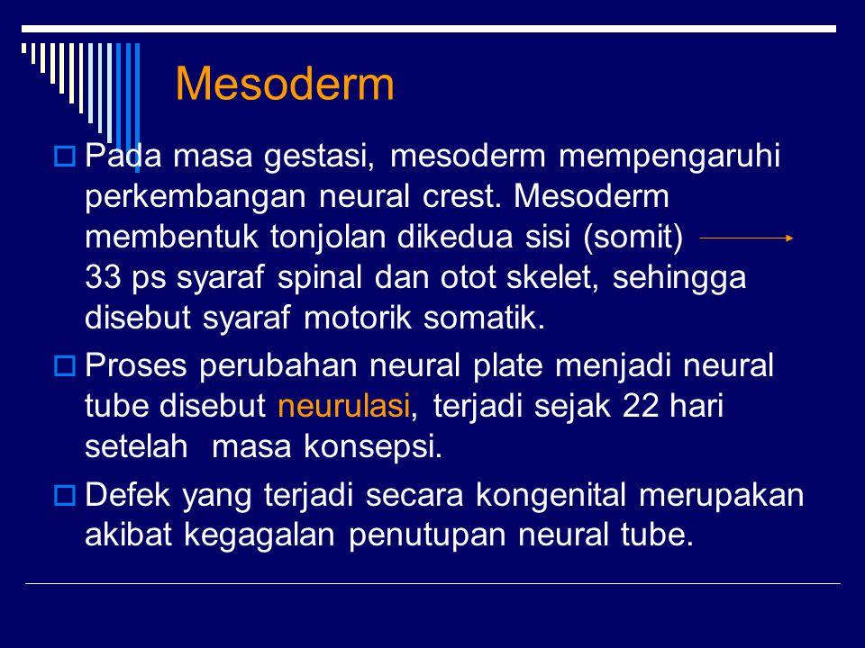 Mesoderm  Pada masa gestasi, mesoderm mempengaruhi perkembangan neural crest. Mesoderm membentuk tonjolan dikedua sisi (somit) 33 ps syaraf spinal da