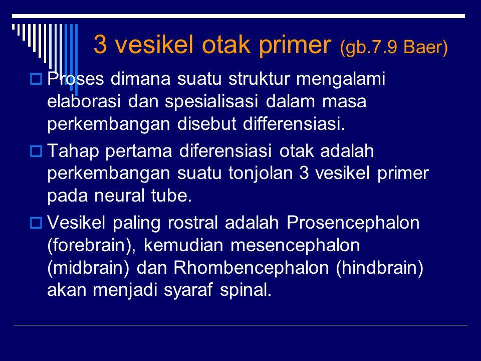 3 vesikel otak primer (gb.7.9 Baer)  Proses dimana suatu struktur mengalami elaborasi dan spesialisasi dalam masa perkembangan disebut differensiasi.