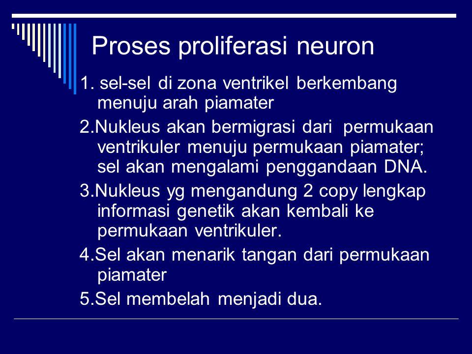 Proses proliferasi neuron 1. sel-sel di zona ventrikel berkembang menuju arah piamater 2.Nukleus akan bermigrasi dari permukaan ventrikuler menuju per