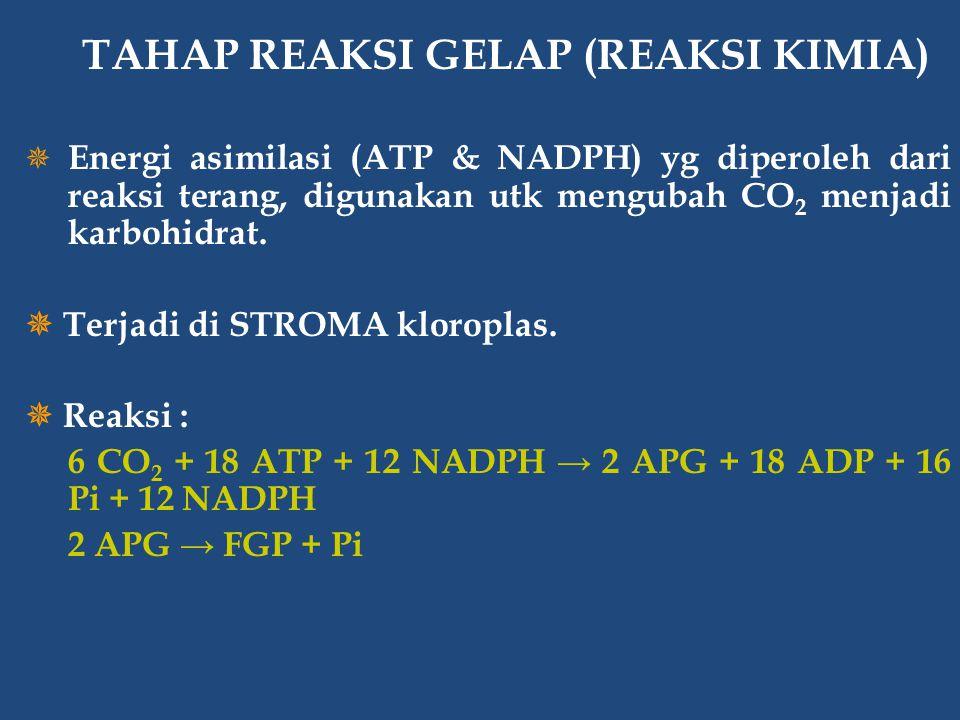  Energi asimilasi (ATP & NADPH) yg diperoleh dari reaksi terang, digunakan utk mengubah CO 2 menjadi karbohidrat.  Terjadi di STROMA kloroplas.  Re