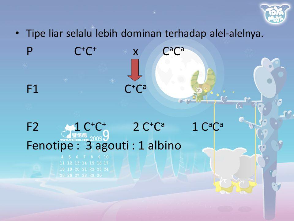 Tipe liar selalu lebih dominan terhadap alel-alelnya. PC + C + xC a C a F1 C + C a F21 C + C + 2 C + C a 1 C a C a Fenotipe : 3 agouti : 1 albino