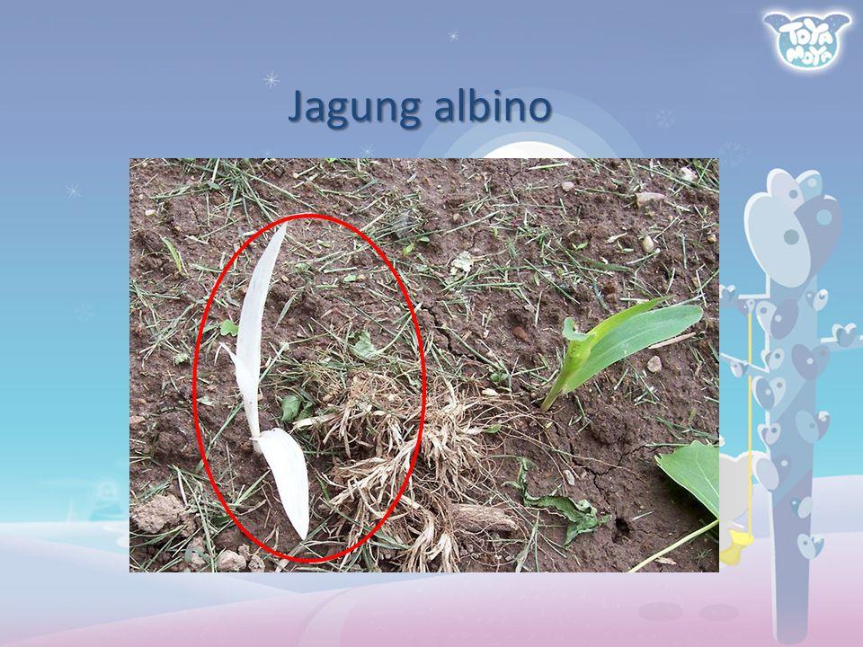 Jagung albino