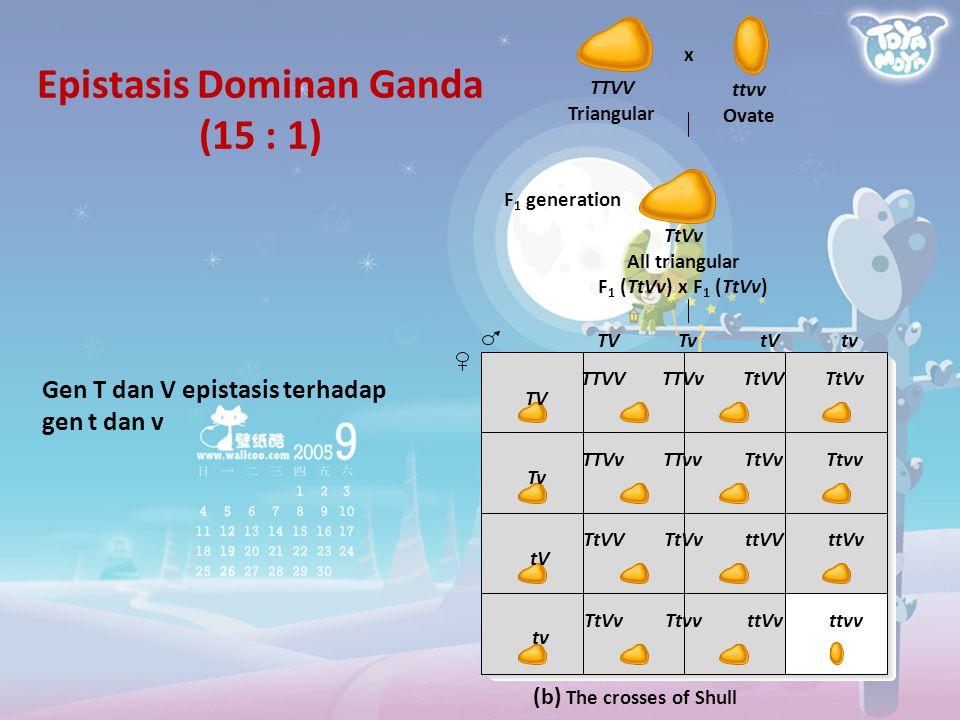Epistasis Dominan Ganda (15 : 1) TV Tv tV tv TTVVTTVvTtVVTtVv TTVvTTvvTtVvTtvv TtVVTtVvttVVttVv TtVvTtvvttVvttvv (b) The crosses of Shull TTVV Triangu