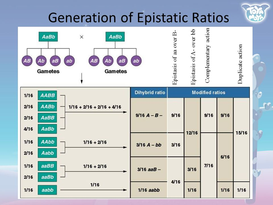 Complementary action Duplicate action Epistasis of aa over B-Epistasis of A- over bb Generation of Epistatic Ratios