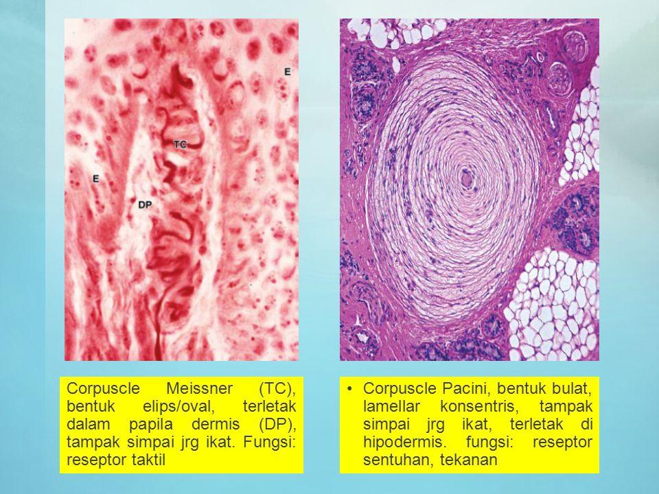 Corpuscle Meissner (TC), bentuk elips/oval, terletak dalam papila dermis (DP), tampak simpai jrg ikat. Fungsi: reseptor taktil Corpuscle Pacini, bentu