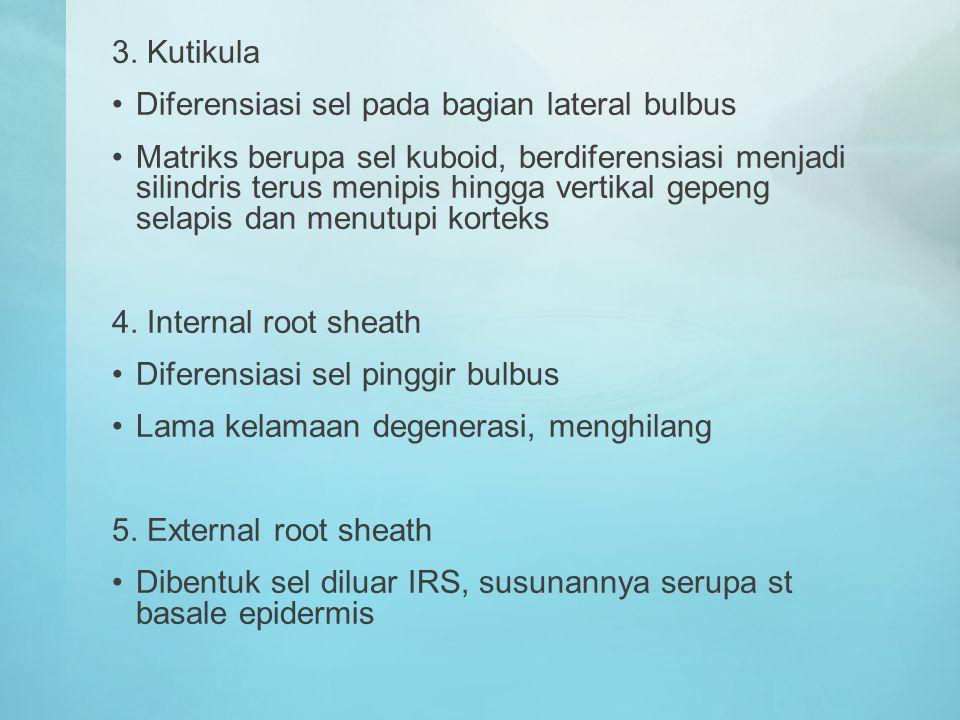 3. Kutikula Diferensiasi sel pada bagian lateral bulbus Matriks berupa sel kuboid, berdiferensiasi menjadi silindris terus menipis hingga vertikal gep