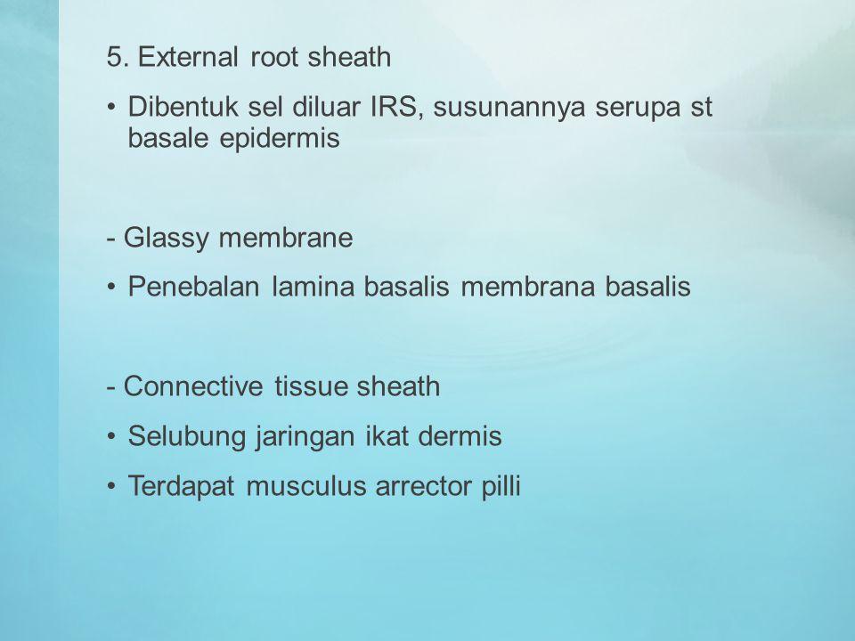 5. External root sheath Dibentuk sel diluar IRS, susunannya serupa st basale epidermis - Glassy membrane Penebalan lamina basalis membrana basalis - C