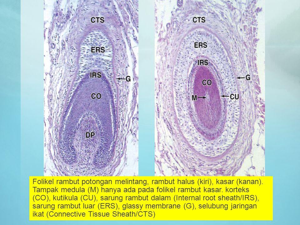 Folikel rambut potongan melintang, rambut halus (kiri), kasar (kanan). Tampak medula (M) hanya ada pada folikel rambut kasar. korteks (CO), kutikula (