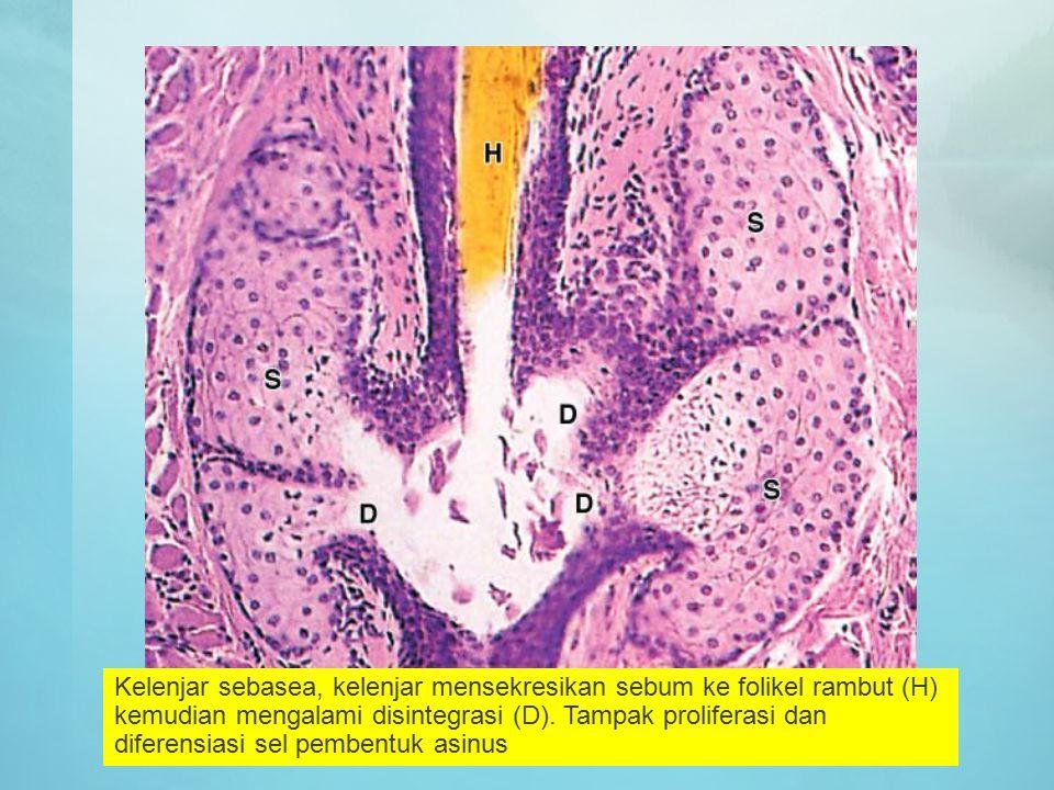 Kelenjar sebasea, kelenjar mensekresikan sebum ke folikel rambut (H) kemudian mengalami disintegrasi (D). Tampak proliferasi dan diferensiasi sel pemb