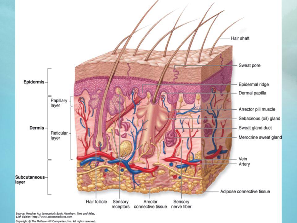 1.Papillar dermis Fibroblast, sel Mast, makrofag, leukosit ekstravasasi Kolagen tipe VII (fibroblast) menjulur ke epidermis untuk merekatkan 2.