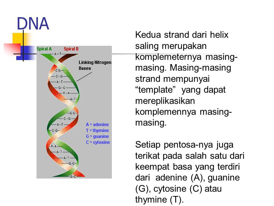"""DNA Kedua strand dari helix saling merupakan komplemeternya masing- masing. Masing-masing strand mempunyai """"template"""" yang dapat mereplikasikan komple"""