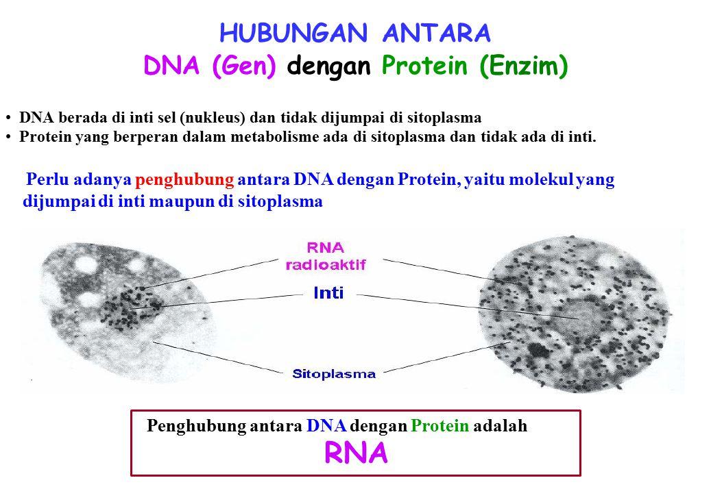 HUBUNGAN ANTARA DNA (Gen) dengan Protein (Enzim) DNA berada di inti sel (nukleus) dan tidak dijumpai di sitoplasma Protein yang berperan dalam metabolisme ada di sitoplasma dan tidak ada di inti.