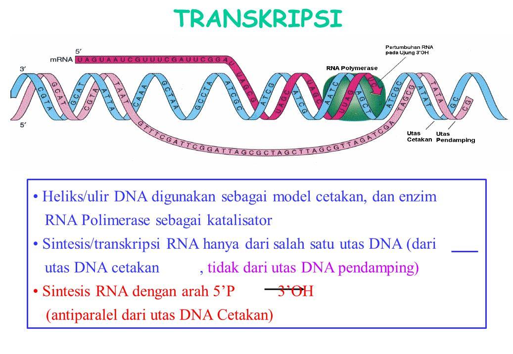 TRANSKRIPSI Heliks/ulir DNA digunakan sebagai model cetakan, dan enzim RNA Polimerase sebagai katalisator Sintesis/transkripsi RNA hanya dari salah sa