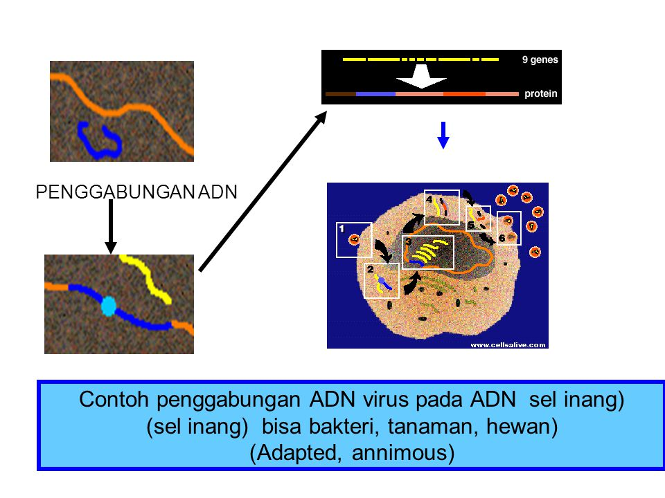 Contoh penggabungan ADN virus pada ADN sel inang) (sel inang) bisa bakteri, tanaman, hewan) (Adapted, annimous) PENGGABUNGAN ADN