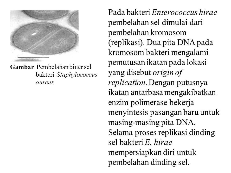 Gambar Pembelahan biner sel bakteri Staphylococcus aureus Pada bakteri Enterococcus hirae pembelahan sel dimulai dari pembelahan kromosom (replikasi).