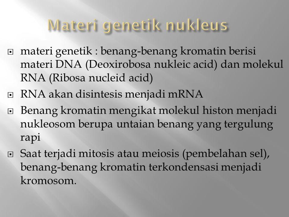  materi genetik : benang-benang kromatin berisi materi DNA (Deoxirobosa nukleic acid) dan molekul RNA (Ribosa nucleid acid)  RNA akan disintesis menjadi mRNA  Benang kromatin mengikat molekul histon menjadi nukleosom berupa untaian benang yang tergulung rapi  Saat terjadi mitosis atau meiosis (pembelahan sel), benang-benang kromatin terkondensasi menjadi kromosom.