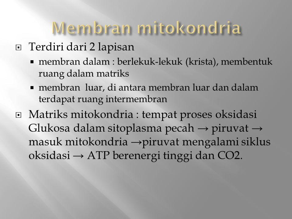  Terdiri dari 2 lapisan  membran dalam : berlekuk-lekuk (krista), membentuk ruang dalam matriks  membran luar, di antara membran luar dan dalam terdapat ruang intermembran  Matriks mitokondria : tempat proses oksidasi Glukosa dalam sitoplasma pecah → piruvat → masuk mitokondria →piruvat mengalami siklus oksidasi → ATP berenergi tinggi dan CO2.