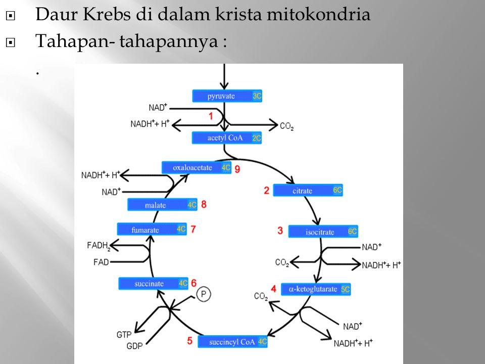  Daur Krebs di dalam krista mitokondria  Tahapan- tahapannya :.