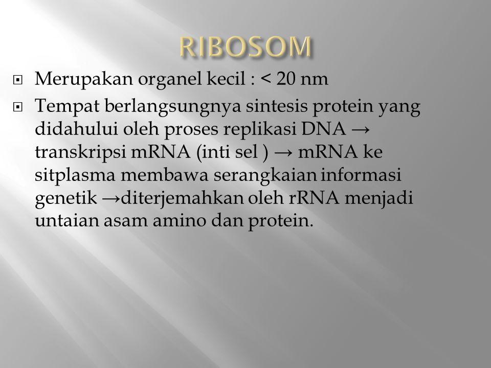  Merupakan organel kecil : < 20 nm  Tempat berlangsungnya sintesis protein yang didahului oleh proses replikasi DNA → transkripsi mRNA (inti sel ) → mRNA ke sitplasma membawa serangkaian informasi genetik →diterjemahkan oleh rRNA menjadi untaian asam amino dan protein.