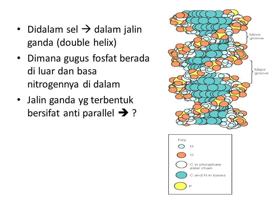 Didalam sel  dalam jalin ganda (double helix) Dimana gugus fosfat berada di luar dan basa nitrogennya di dalam Jalin ganda yg terbentuk bersifat anti
