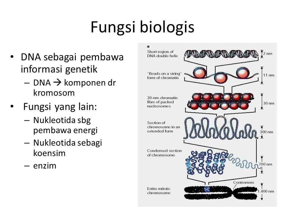 Fungsi biologis DNA sebagai pembawa informasi genetik – DNA  komponen dr kromosom Fungsi yang lain: – Nukleotida sbg pembawa energi – Nukleotida seba