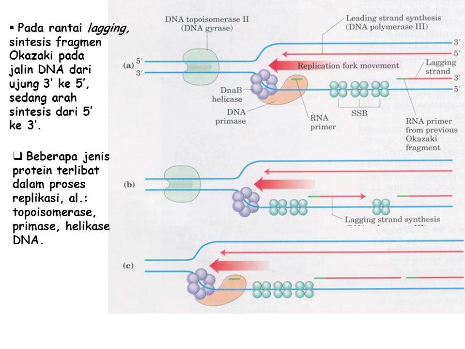  Pada rantai lagging, sintesis fragmen Okazaki pada jalin DNA dari ujung 3' ke 5', sedang arah sintesis dari 5' ke 3'.  Beberapa jenis protein terli