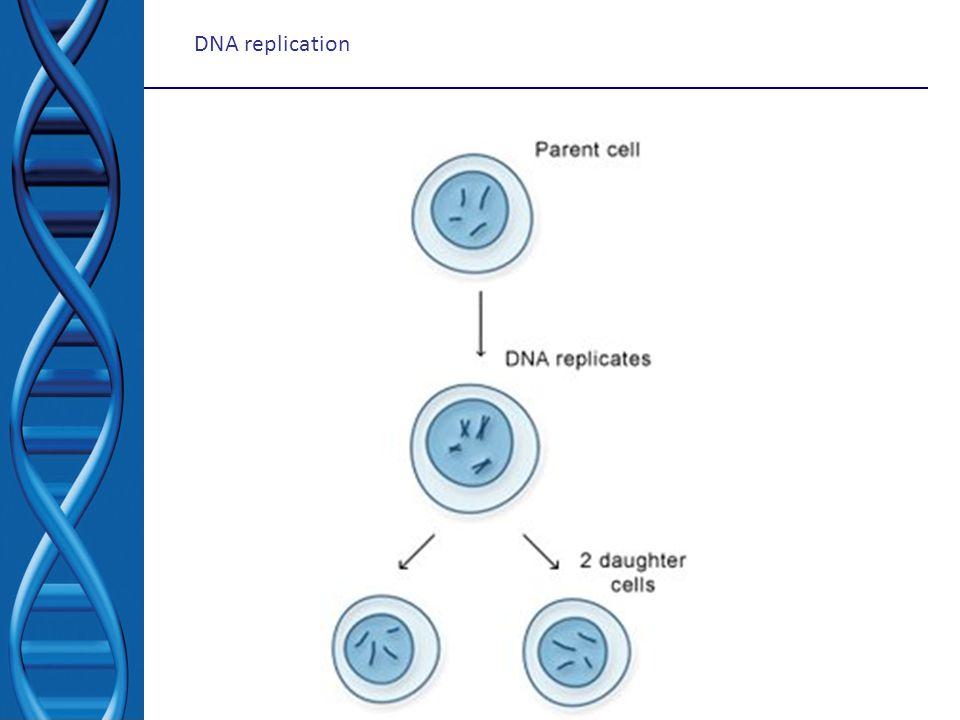 Pada akhir proses replikasi kedua DNA kromosom yang baru saja secara komplit disintesis akan membentuk daerah yang masih bertautan.